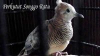 Perkutut Songgo Ratu